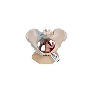 3B Scientific H20/3 Bassin Féminin avec Ligaments, Sectionné au Niveau Mi-Sagittal à Travers les Organes des Muscles du Plancher Pelvien, en Quatre Pièces - 3B Smart Anatomy