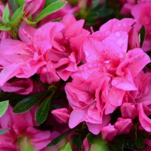 Azalée japonaise 'Rosa King'