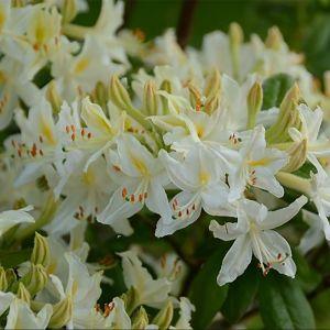 Azalée de Chine 'Alba Grandiflora'