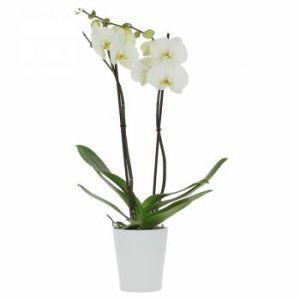 Orchidée de l'Amour (2 branches)