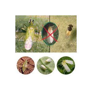 Punaise Calpop Macrolophus pygmaeus contre les aleurodes mouches blanches